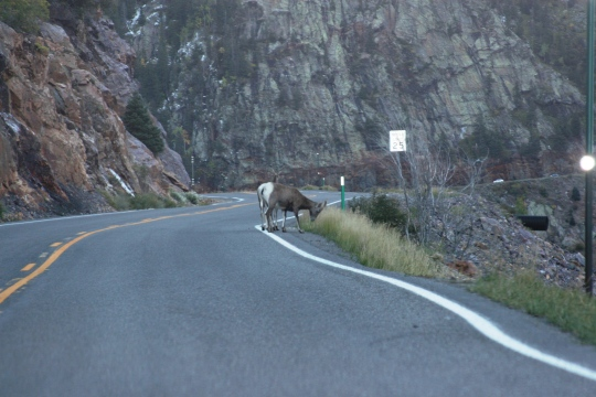 Bighorn Sheep in CO