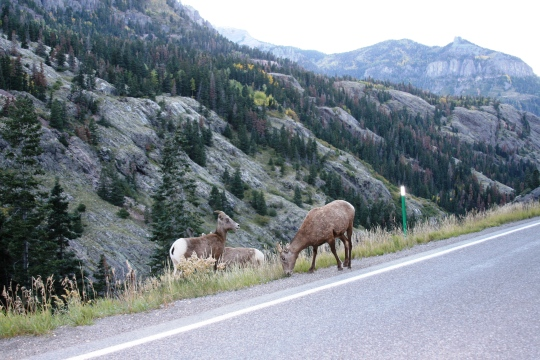 How often do you see bighorn sheep? And how often do you see them when you have your camera out and ready??? A million dollar shot on the Million Dollar Highway.