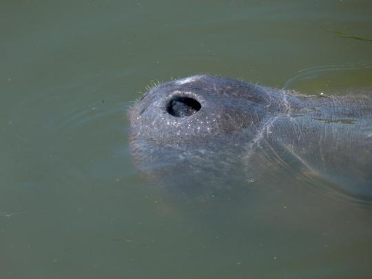 By the time the manatee comes to the surface to take a breath, it's gone in a split second.