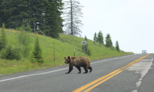 Grizzly crossing road Yellowstone