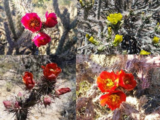 Cholla colors 1