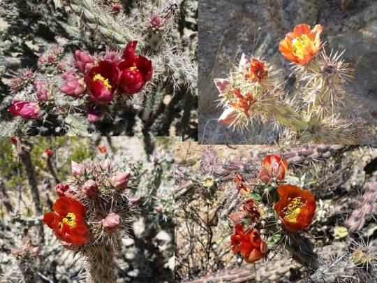 Cholla colors 2