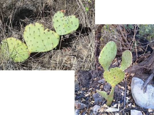Funny prickly pear